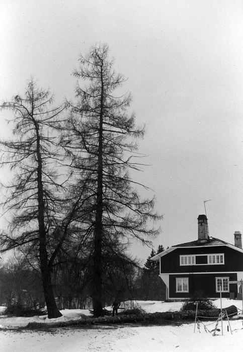 Sibiriska lärkträd vid Tallgatan