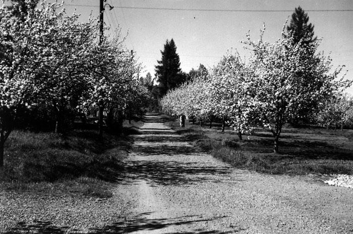 Äppelträd på gamla torget