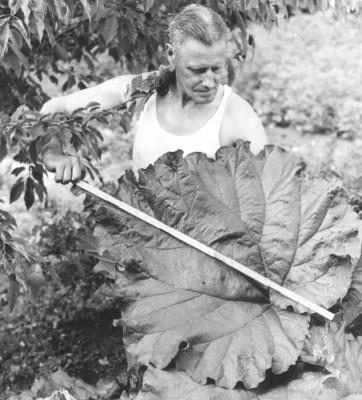 Plåt-Anders Karlsson med rabarberblad