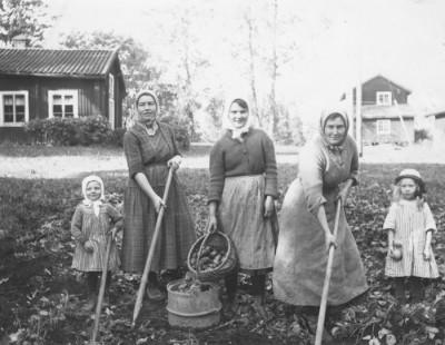 Tre generationer samlade till potatisupptagning