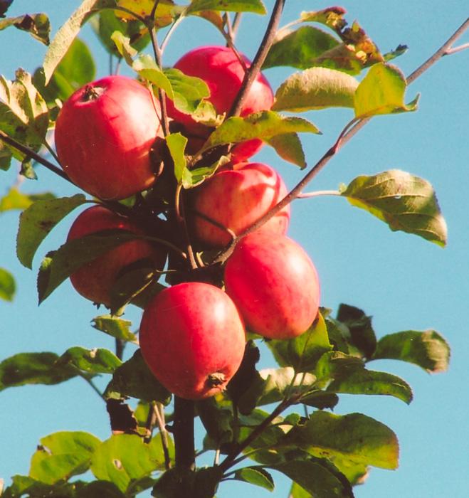 Musei-äpple i närbild
