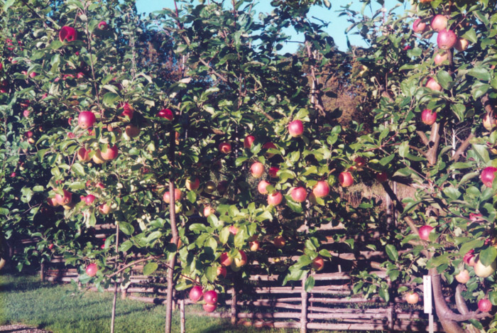 Fin-fint äppelår